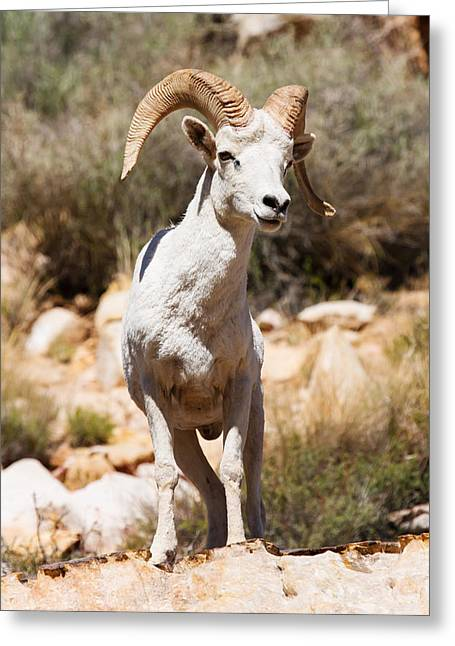 Southwest Wildlife Greeting Cards - White Sheep Of The Family Greeting Card by James Marvin Phelps