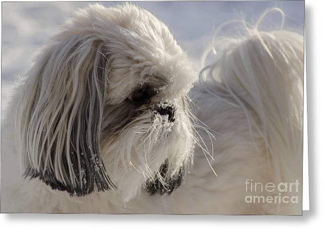 Toy Dog Greeting Cards - White Shih Tzu Greeting Card by Joy McAdams
