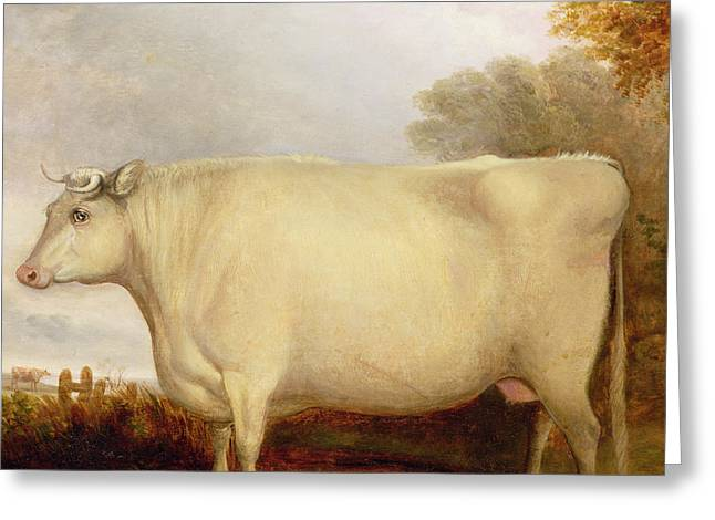Rural Area Greeting Cards - White Short-horned Cow in a Landscape Greeting Card by John Vine