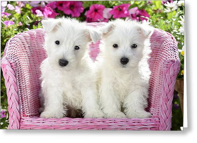 Puppies Greeting Cards - White Sitting Dogs Greeting Card by Greg Cuddiford