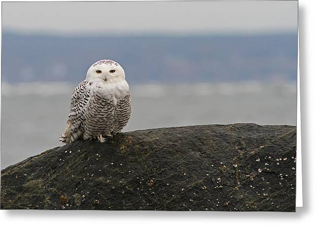 Wildlife Refuge. Greeting Cards - White Snowy Owl Greeting Card by Juergen Roth
