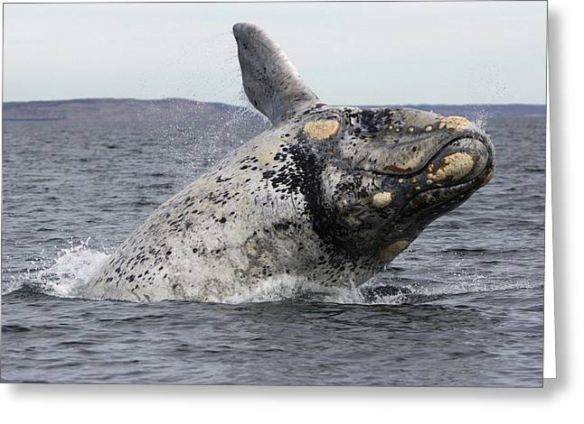 White Southern Right Whale Breaching Greeting Card by Hiroya  Minakuchi