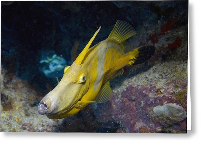 Underwater Greeting Cards - White Spotted Filefish in Cave Greeting Card by Jim Murphy