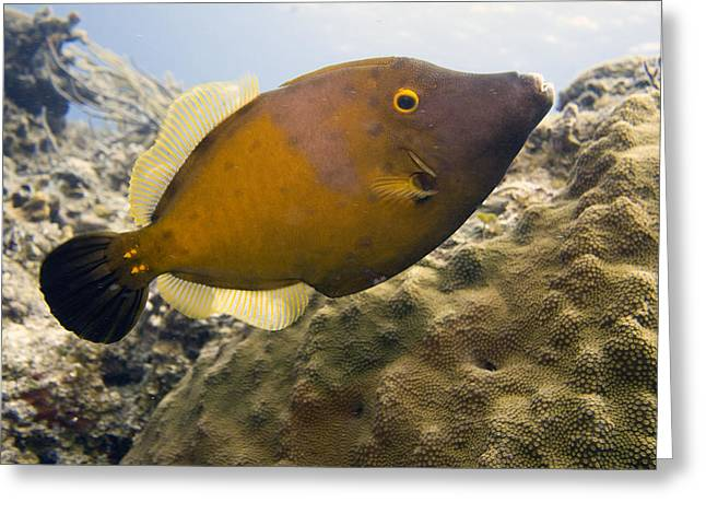Underwater Greeting Cards - White Spotted Filefish Greeting Card by Jim Murphy