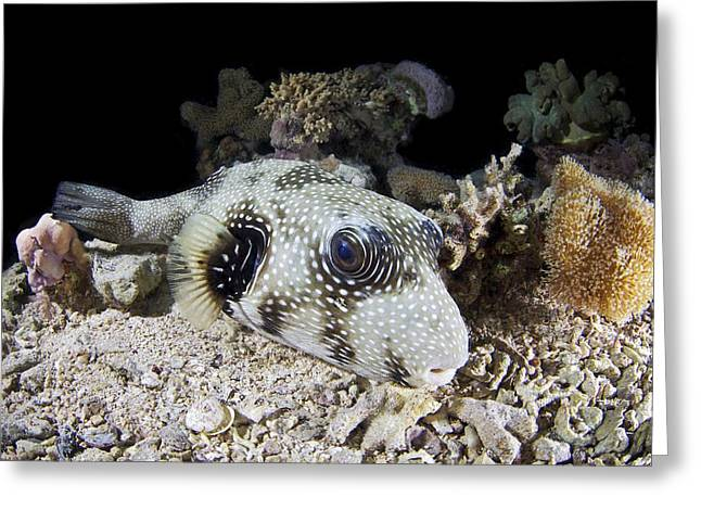 Puffer Greeting Cards - White spotted pufferfish Greeting Card by Science Photo Library
