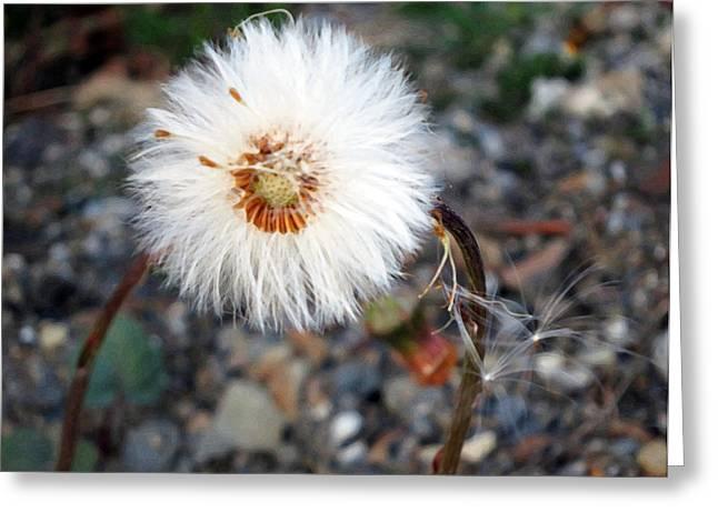 White Spring Wildflower Greeting Card by Patricia Januszkiewicz