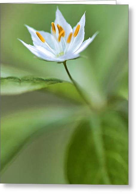 Maine Spring Greeting Cards - White Starflower - Spring 2013 Greeting Card by Thomas J Martin