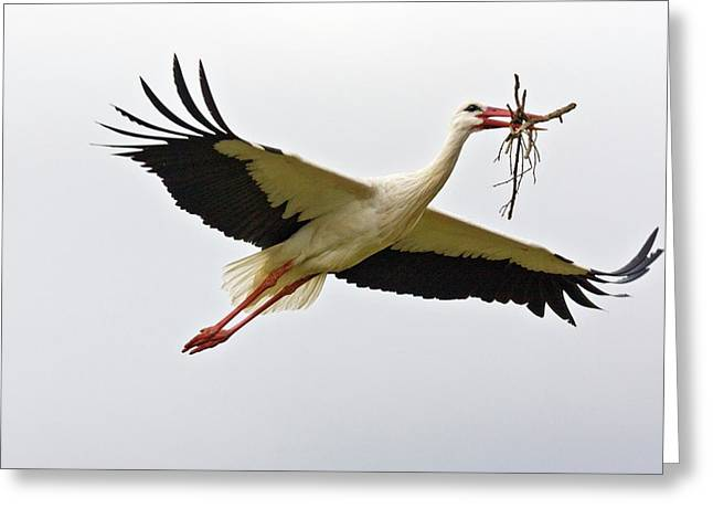 White Stork Carrying Nesting Material Greeting Card by Bob Gibbons
