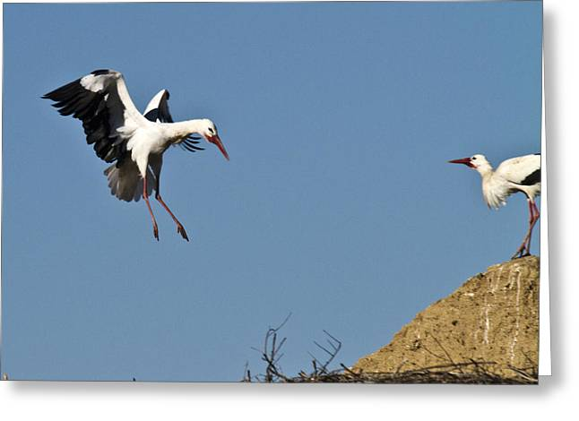Zoologic Greeting Cards - White Stork Landing Greeting Card by Heiko Koehrer-Wagner