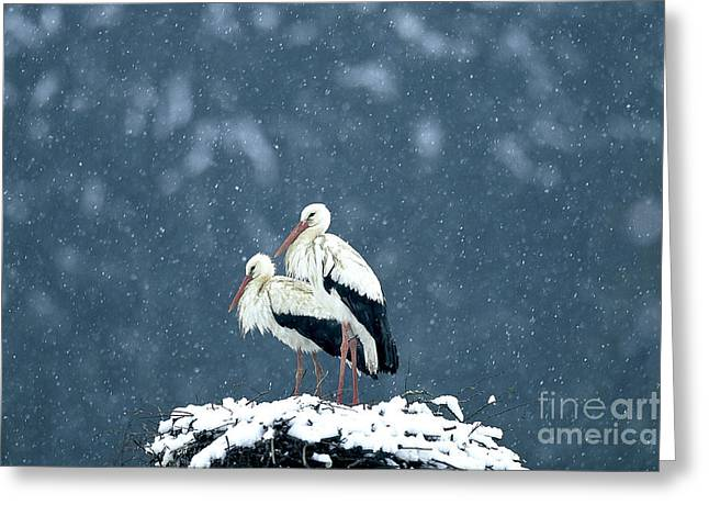 Snowstorm Greeting Cards - White Storks At Nest Greeting Card by Susanne Danegger/Okapia