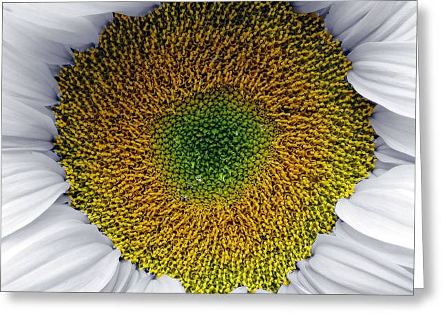 White Sunflower Greeting Card by Per Lidvall