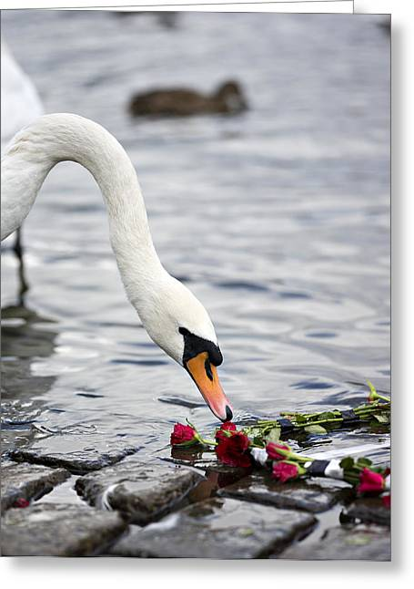 Tchaikovsky Greeting Cards - White Swan and Red Roses Greeting Card by Evgeny Govorov