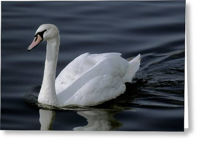 Water Fowl Greeting Cards - WHITE SWAN at TWILIGHT Greeting Card by Daniel Hagerman