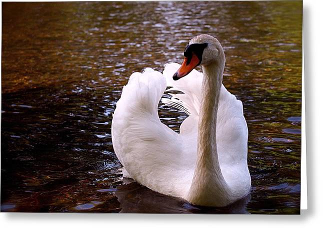 White Swan Greeting Cards - White Swan Greeting Card by Rona Black