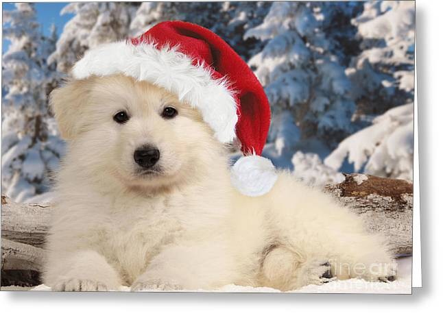 Dog In Snow Greeting Cards - White Swiss Shepherd Puppy Greeting Card by Jean-Michel Labat