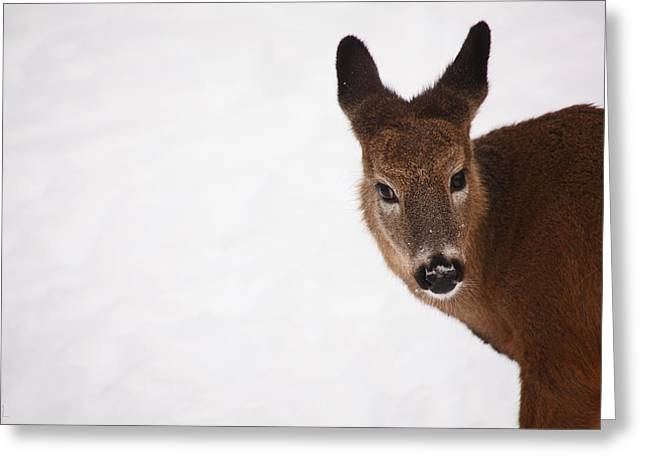 Deer In Snow Greeting Cards - White Tail Babe Greeting Card by Karol  Livote