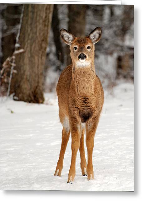 Whitetail In Snow Greeting Card by Christina Rollo