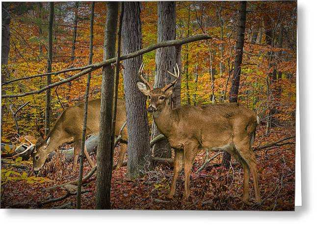 Two Deer Greeting Cards - White Tail Deer Bucks in an Autumn Woodland Forest Greeting Card by Randall Nyhof