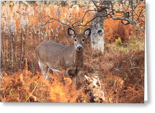 White Tailed Deer In Autumn Meadow Greeting Card by John Burk