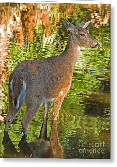 Ocala Greeting Cards - White Tailed Deer Greeting Card by Millard H. Sharp