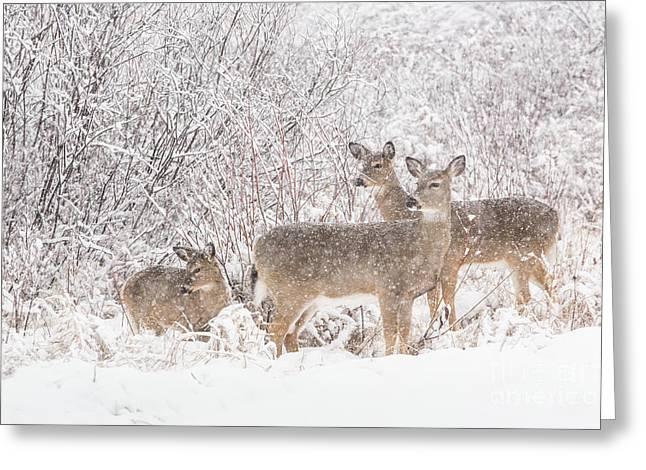 Snowstorm Greeting Cards - White-tailed Deer Odocoileus Virginianus Greeting Card by Linda Freshwaters Arndt