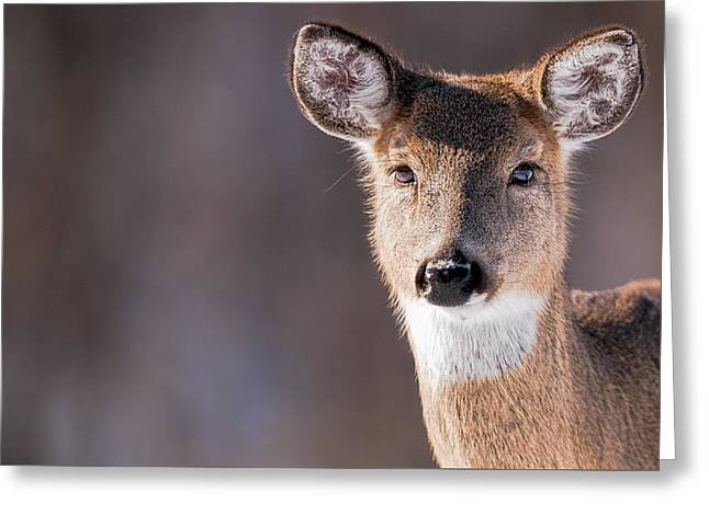 White-tail Deer Greeting Cards - White-tailed Deer Portrait - Doe - Wildlife Greeting Card by Sharon Norman