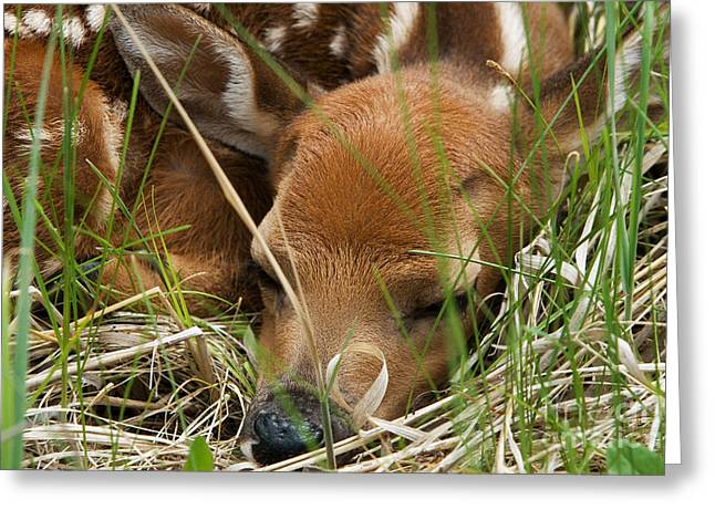 Science Collection - Greeting Cards - White-tailed Deer Sleeping Greeting Card by Linda Freshwaters Arndt