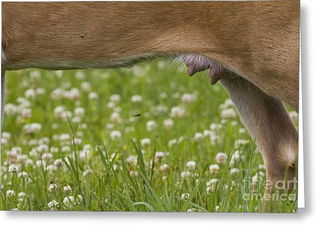 White-tailed Deer Udder Greeting Card by Linda Freshwaters Arndt