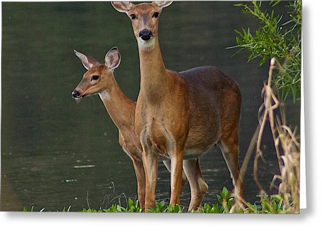 Ferrin Greeting Cards - White-tailed Doe and Fawn Greeting Card by Dan Ferrin