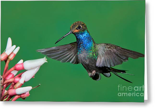 Urochroa Greeting Cards - White-tailed Hillstar Greeting Card by Anthony Mercieca