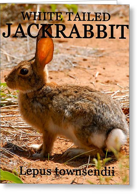 Whit Greeting Cards - White Tailed Jackrabbit Greeting Card by David Lee Thompson
