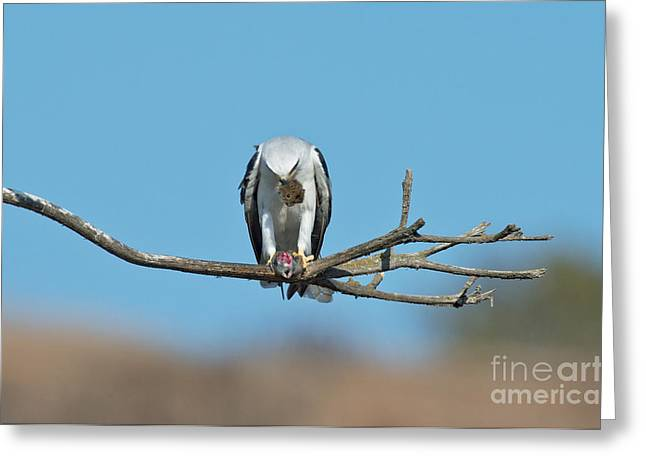Kite Greeting Cards - White-tailed Kite Eats Vole Greeting Card by Anthony Mercieca
