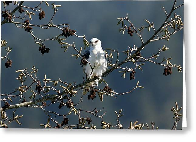 White-tailed Kite In A Tree Greeting Card by Bob Gibbons
