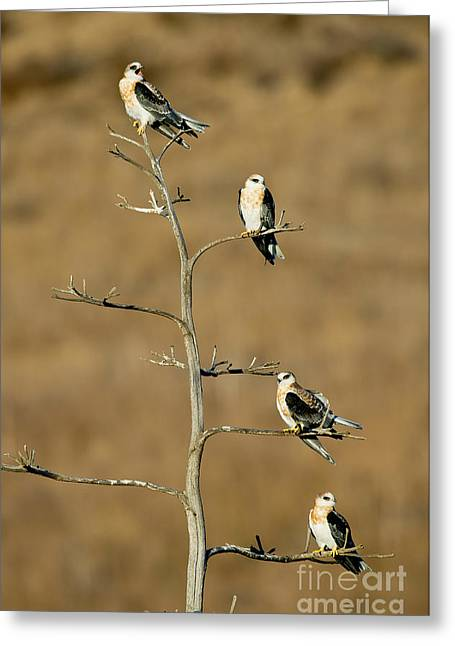 Kite Greeting Cards - White-tailed Kite Siblings Greeting Card by Anthony Mercieca