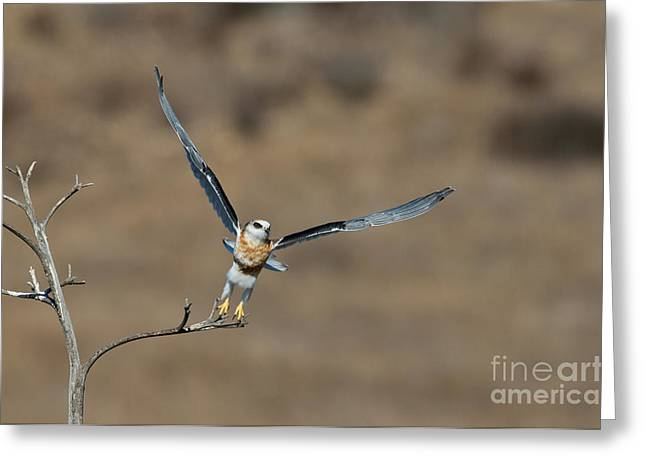 Kite Greeting Cards - White-tailed Kite Takes Off Greeting Card by Anthony Mercieca