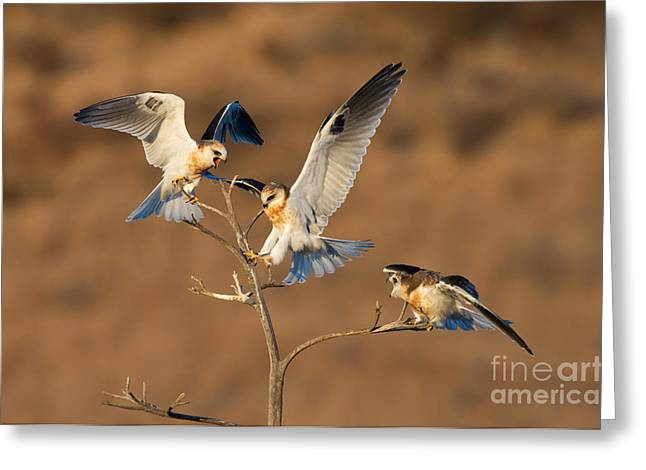 Kite Greeting Cards - White-tailed Kite Trio Greeting Card by Anthony Mercieca