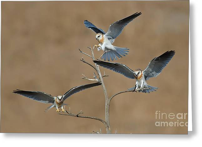 Kite Greeting Cards - White-tailed Kite Young Greeting Card by Anthony Mercieca