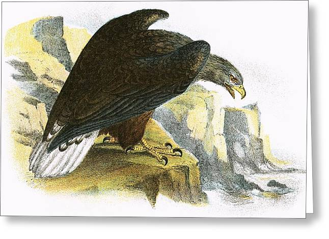 White Tail Greeting Cards - White Tailed Sea Eagle Greeting Card by English School