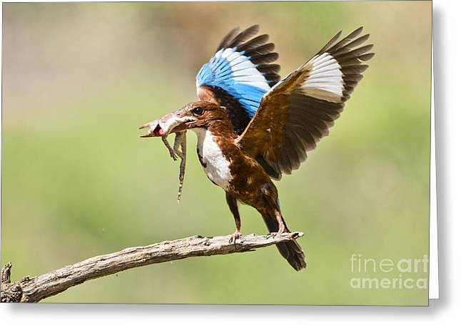 Smyrna Greeting Cards - White-throated Kingfisher Greeting Card by Eyal Bartov