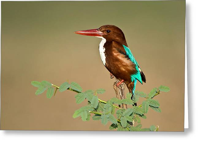 Bird On Tree Greeting Cards - White-throated Kingfisher Halcyon Greeting Card by Panoramic Images