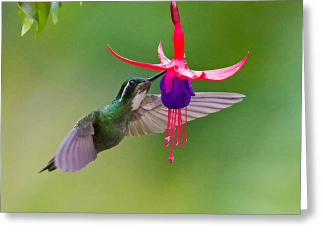 Feeding Birds Greeting Cards - White-throated Mountaingem Lampornis Greeting Card by Panoramic Images