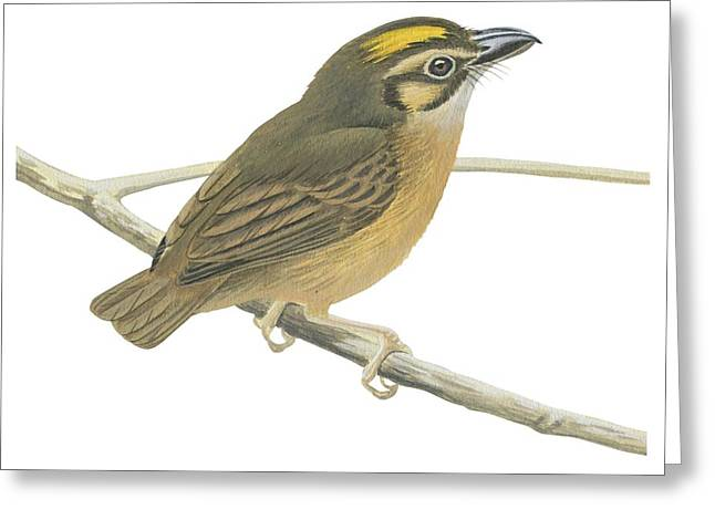 White Background Drawings Greeting Cards - White throated spadebill Greeting Card by Anonymous