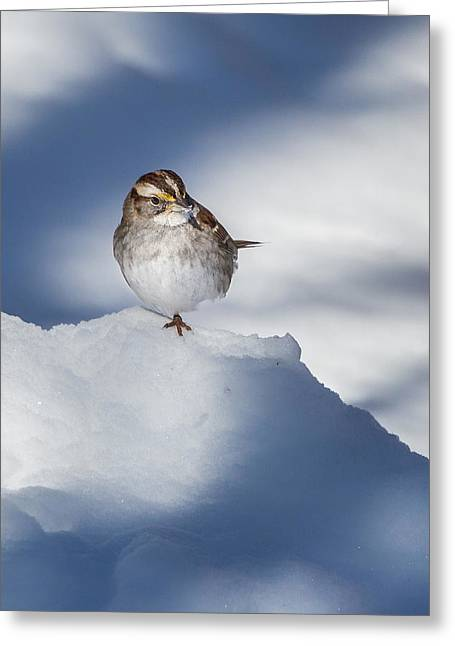 Sparrow Greeting Cards - White Throated Sparrow Greeting Card by Bill  Wakeley