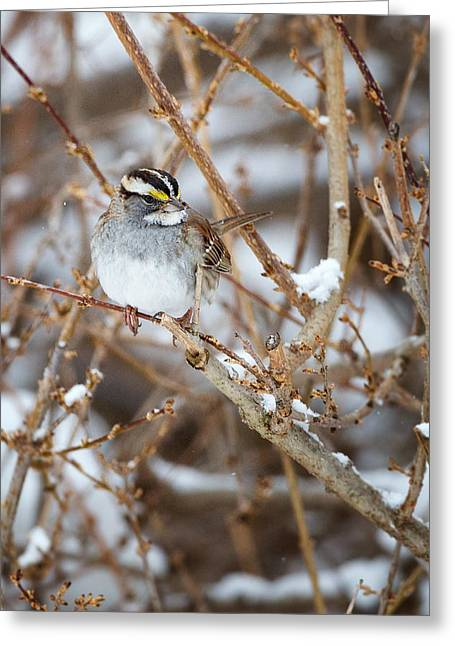 Sparrow Greeting Cards - White Throated Sparrow Portrait Greeting Card by Bill  Wakeley
