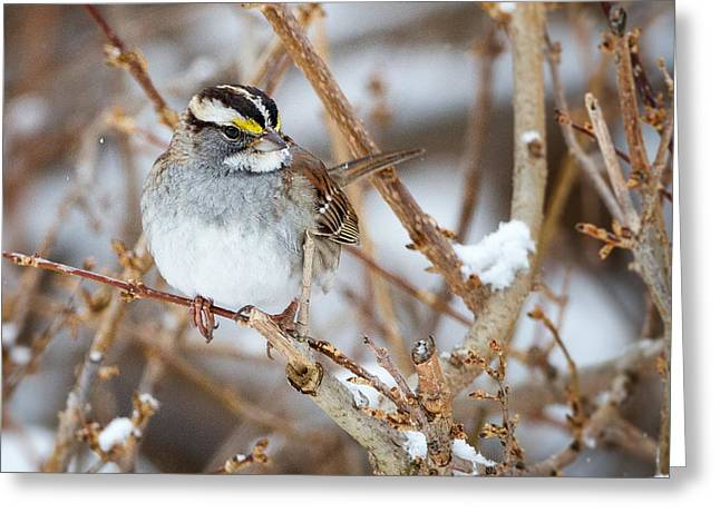 Square Format Greeting Cards - White Throated Sparrow Portrait Square Greeting Card by Bill  Wakeley