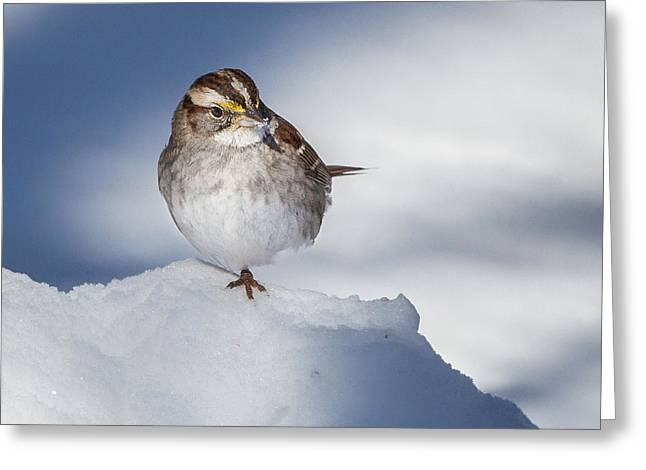 Sparrow Greeting Cards - White Throated Sparrow Square Greeting Card by Bill  Wakeley