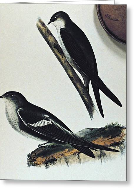 Noaa Greeting Cards - White throated Swift Bird Greeting Card by Movie Poster Prints