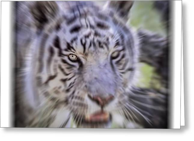 Growling Greeting Cards - White Tiger Dreams Radial Blur Greeting Card by LeeAnn McLaneGoetz McLaneGoetzStudioLLCcom