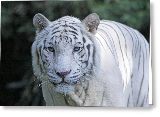 White Tiger Face Greeting Card by Shoal Hollingsworth