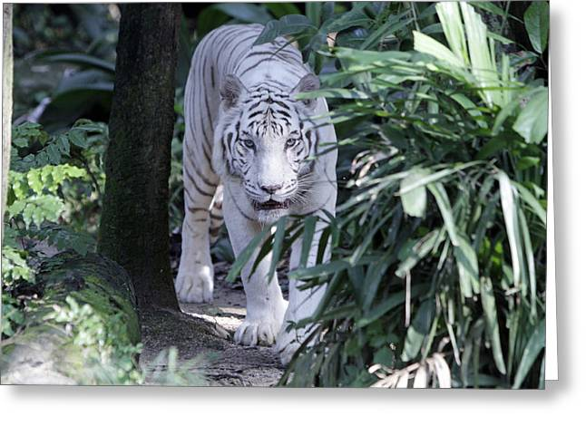 White Pyrography Greeting Cards - White Tiger  Greeting Card by Shoal Hollingsworth